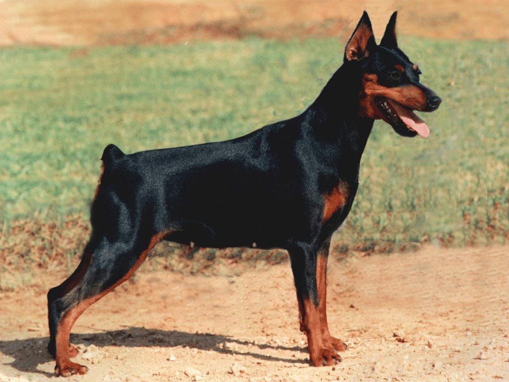 Как сделать правильный выбор породы собаки?