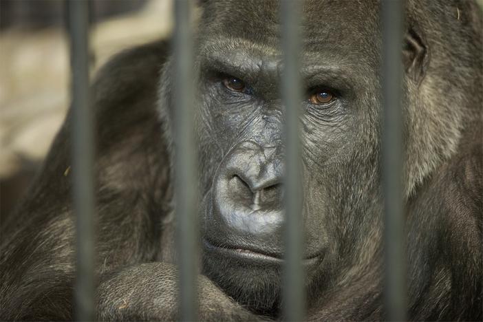 Формирование общества, интересные эксперименты с обезьянами