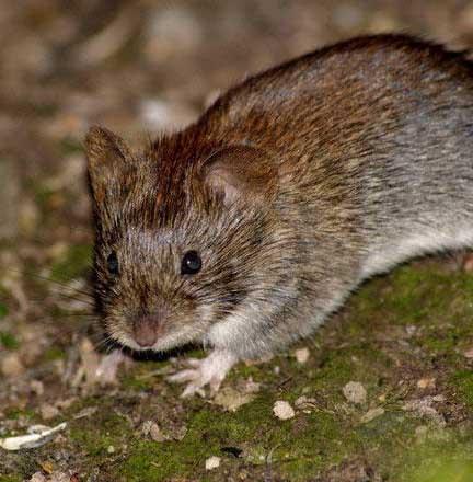 Как защитить урожай от крыс и мышей