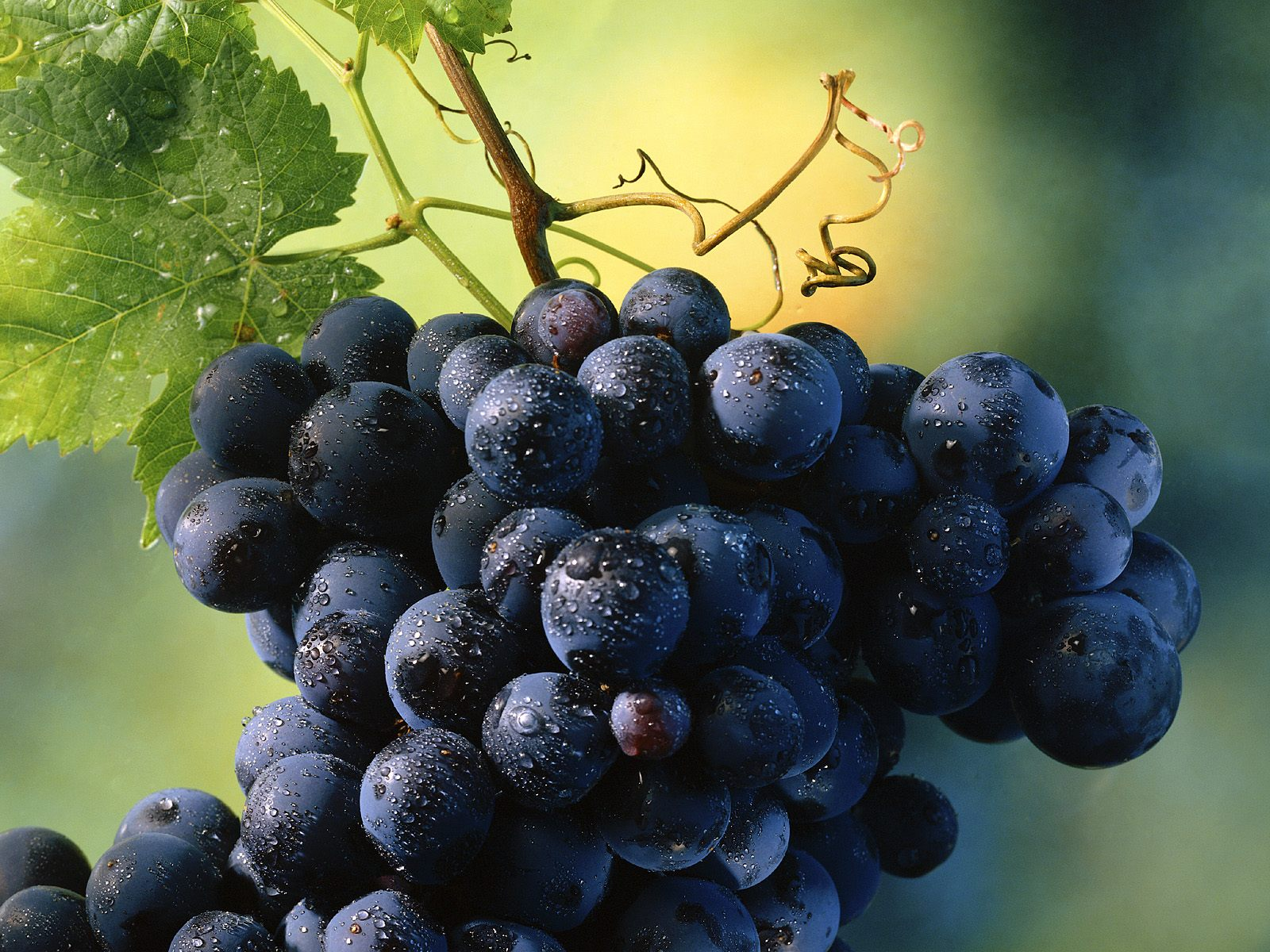 Как начать выращивать виноград?