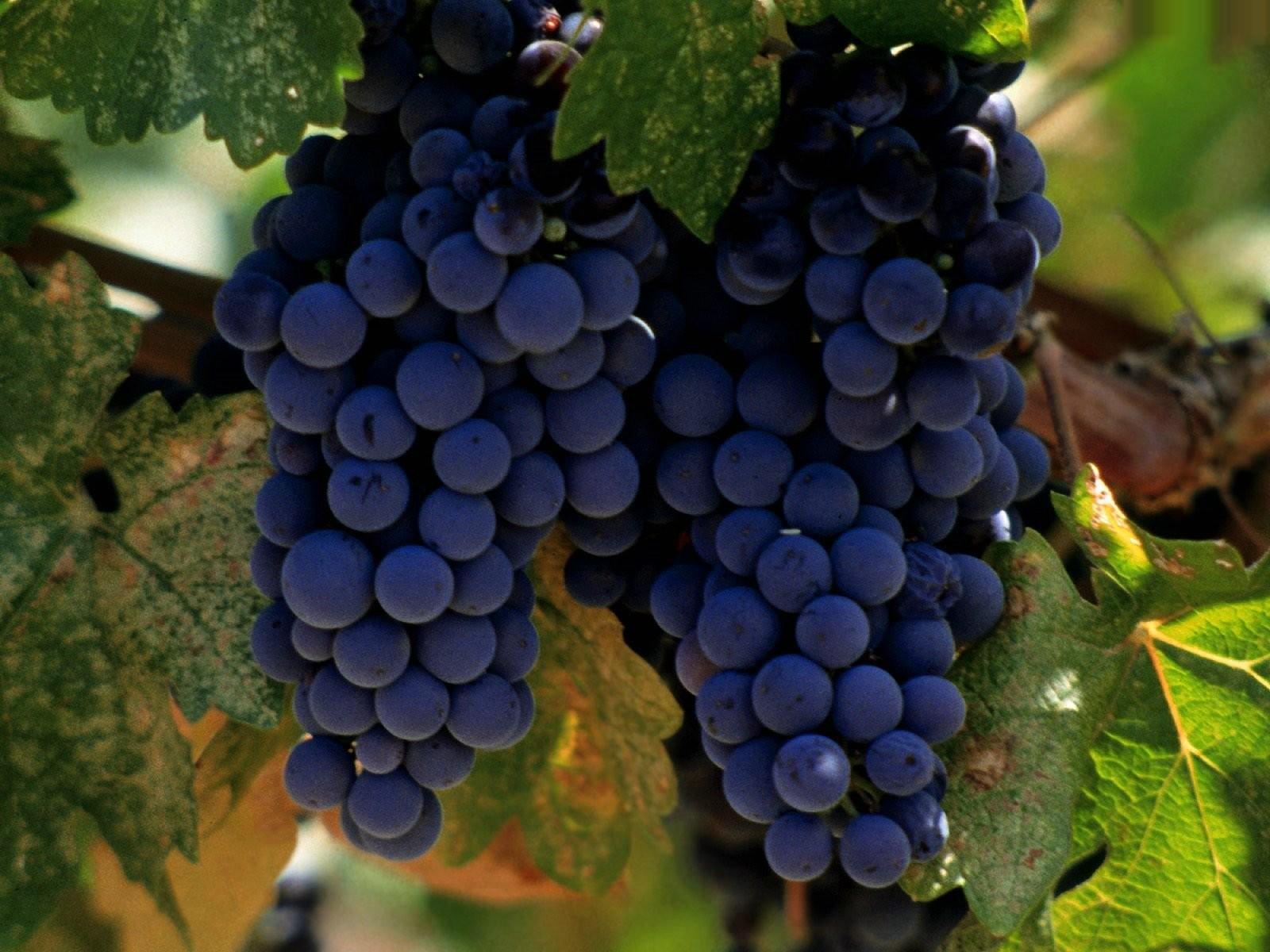 Экстракт виноградных семечек убивает рак