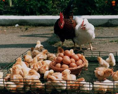 Собственный бизнес на эксплуатации мини-птицефабрики