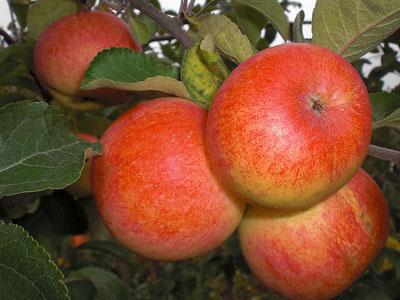 Можно ли вырастить яблоню в Сибири?