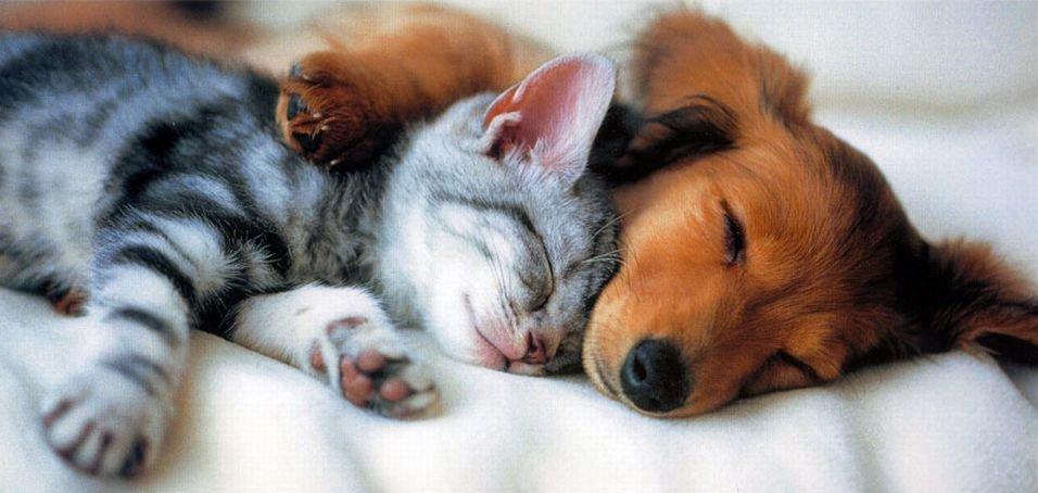 Всегда ли выражение «как кошка с собакой» означает вражду?