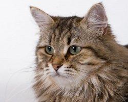 Особенности ухода за сибирским котом