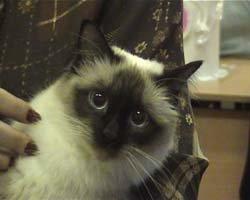 Особенности породы сиамских котят
