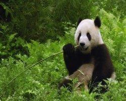 Как панды могут питаться лишь бамбуком?