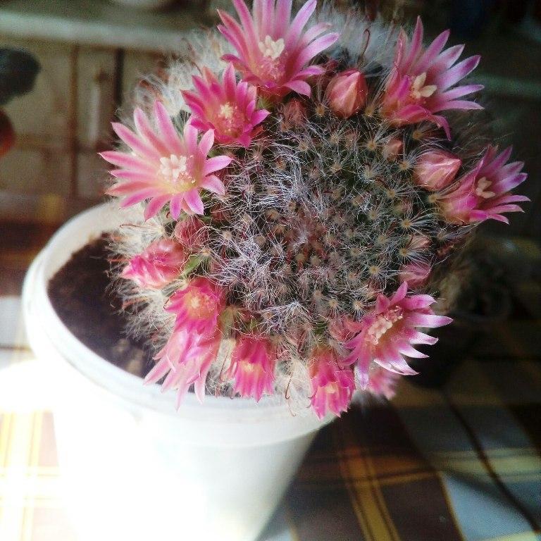 Цветущие колючие друзья на подоконнике (фото)