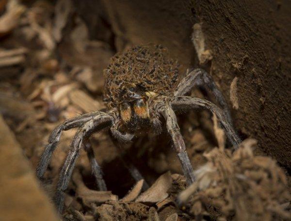 Фотографу удалось заснять, как самка паука переносит 1000 детей на своей спине