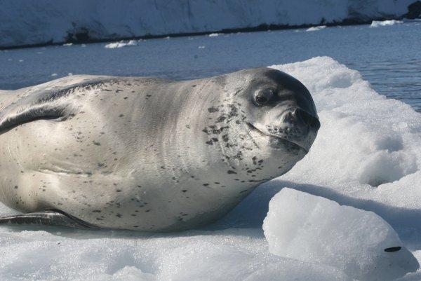 Тюлени помогли ученым измерить температуру воды в Антарктике