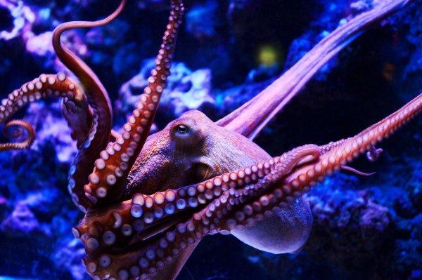 Ученые: Осьминоги – это инопланетяне, попавшие на Землю миллионы лет назад