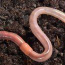 Вторжение гигантских червей: Метровые плоские черви появились в Европе и шокировали ученых