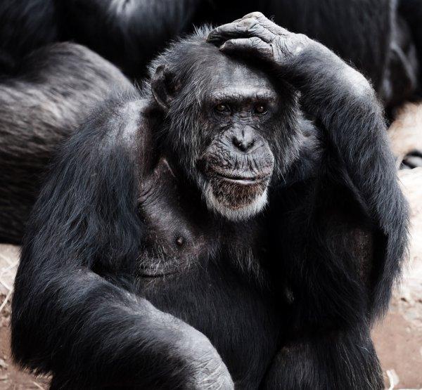 Учёные научат людей разговаривать на языке шимпанзе