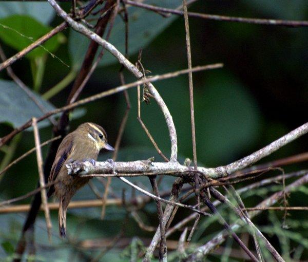 Ученые: В Амазонке «дозорные» птицы предупреждают соседей об опасности