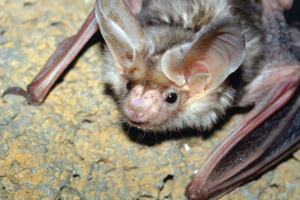 Самки летучей мыши выбирают женихов по серенадам