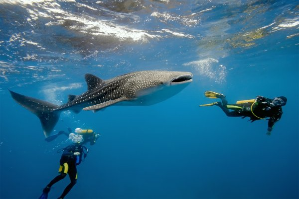 Ученые выяснили, почему китовые акулы собираются в определенных местах