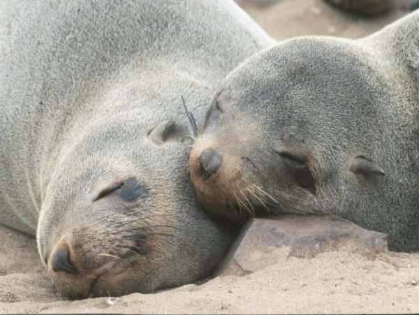 Ученые: Спящие в воде морские котики не видят сны