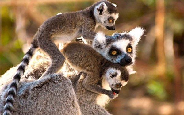 Забота о потомстве провоцирует рост мужских гормонов у лемуров-отцов