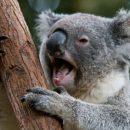 Ученые: Фекалии коалы помогут спасти носорогов от исчезновения