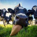 Ученые: Необходимо кормить коров «бактериальной жижей» вместо сена