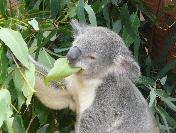Генетики объяснили, как коалы справляются с ядовитыми растениями