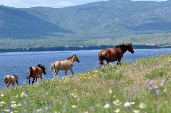 Учёные выяснили причину фырканья лошадей