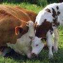 Ученые научились выводить безрогих коров
