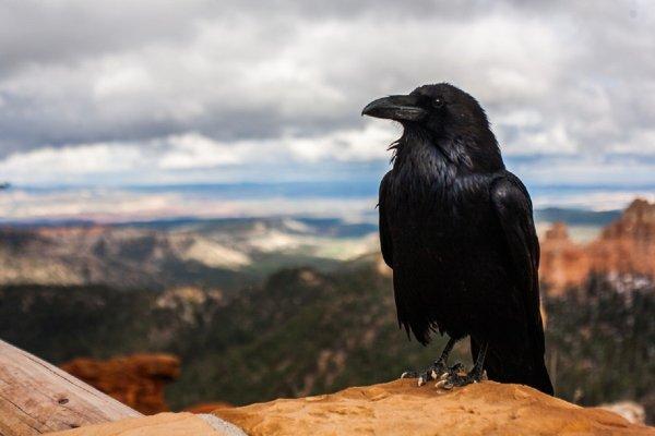 Ученые: Вороны являются некрофилами