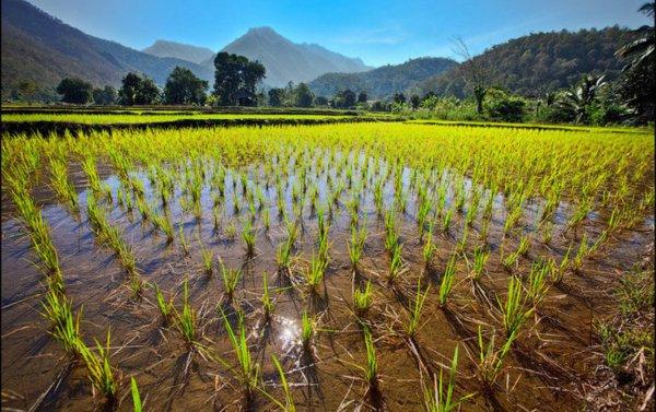 Ученые вырастили препарат для профилактики ВИЧ на рисовых плантациях