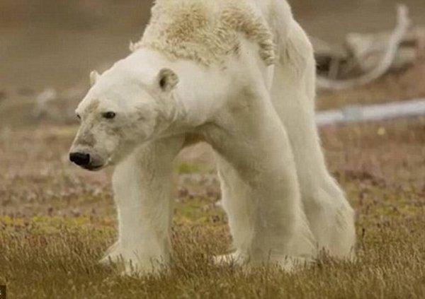 Специалисты из National Geographic опровергли негативное влияние климата на белых медведей