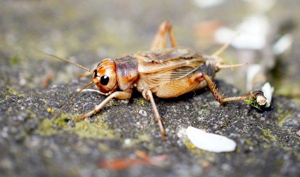 Ученые: Употребление насекомых улучшает состояние здоровья
