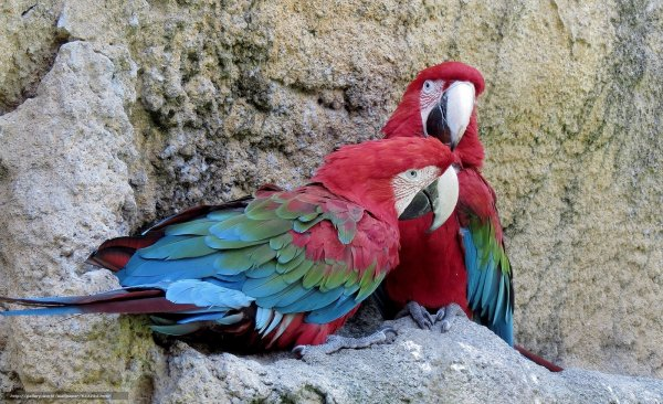 Ученые: Древние индейцы заводили попугаев ара