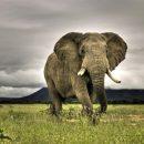 Учёные нашли у слонов ген, убивающий раковые клетки