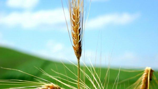 Ученые обнаружили самый подробный геном пшеницы