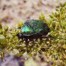Древнейший жук-опылитель возрастом 100 млн лет найден в янтаре