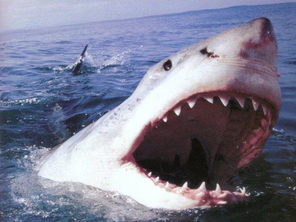 Акулы массово атакуют дельфинов во время активности Нибиру