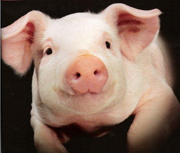 Ученые: Свиньи могут отличить лицо человека от его затылка