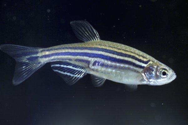 Элементы солнцезащитного крема усложнили развитие рыбок данио