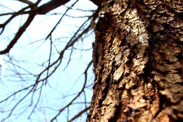 Учёные: Преодолеть гравитацию деревьям помогла кора