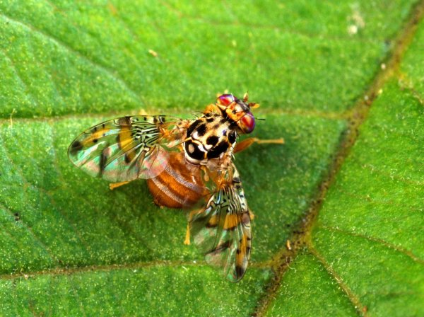 Плодовые мухи способны ориентироваться по солнцу