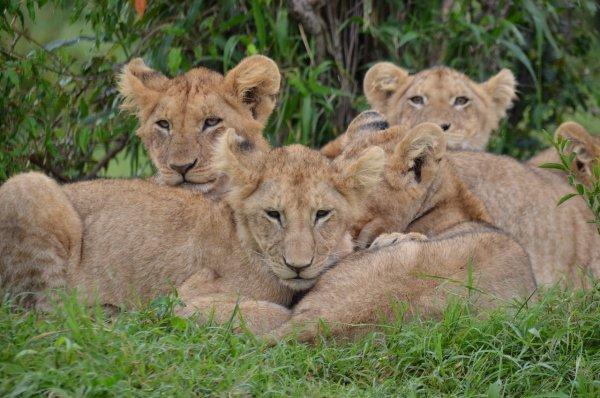 Первые львята «из пробирки» родились в Южной Африке