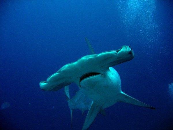 Ученые нашли первую акулу, употребляющую в пищу водоросли