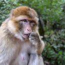 Ученые отследили нейрофизиологию зависти в мозге макаки