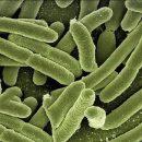 Ученые обнаружили в кишечнике вырабатывающую электричество бактерию
