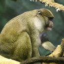 Ученые: Обезьяны могут переносить тропический сифилис
