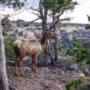 Коровы и чернохвостые олени уничтожают самый массивный организм на Земле