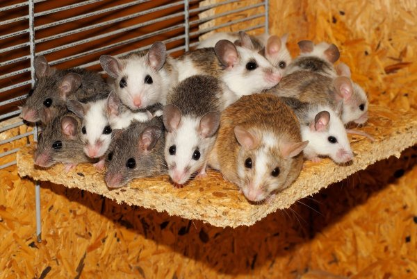 Взрослые мыши отказываются от секса при виде слез своих детей