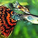 Японские ученые выявили, почему самки гуппи предпочитают ярких самцов