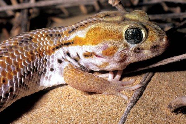 Ученые поняли, как гекконам удается бегать по воде