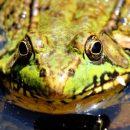 Городские лягушки «сексуальнее» для самок, чем лесные